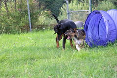 Playing dogs royalty free stock image