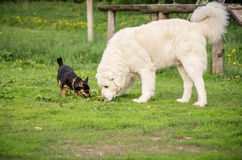 Playing dogs Royalty Free Stock Photos