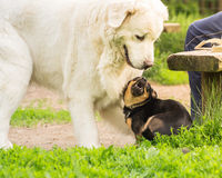 Playing dogs Stock Image