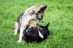 Playing dogs Royalty Free Stock Images
