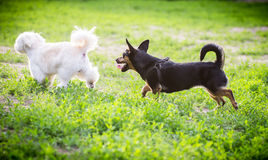 Playing dogs. Little dogs playing in the yard Royalty Free Stock Image