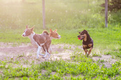 Playing dogs. Little dogs playing in the yard Stock Images