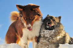 Playing dogs romp in the snow Royalty Free Stock Photos