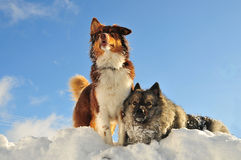 Playing dogs romp in the snow royalty free stock images