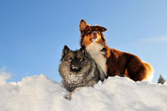 Playing dogs romp in the snow Stock Image