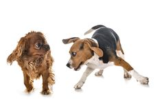 Playing dogs in studio royalty free stock photos