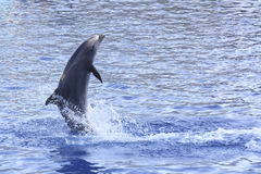 Playing dolphin. A image of a swimming dolphin stock photography
