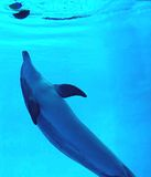 Playing dolphin. Nikon d 80. Underwater picture in zoo Stock Images