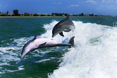 Playing Dolphins Royalty Free Stock Image