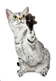 Playing egyptian mau cat Royalty Free Stock Images