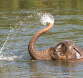 Playing elephant ElephantsWold Thailand Royalty Free Stock Image