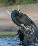 Playing elephant in river stock image