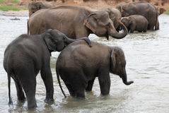 Playing elephants. Elephant, playing with his proboscis with another elephant in streaming water Stock Photos