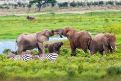 Playing Elephants Royalty Free Stock Photography