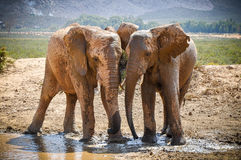 Playing Elephants - head to head Royalty Free Stock Image