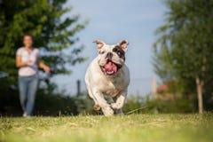 Playing with english bulldog Royalty Free Stock Images