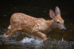 Playing fawn in water Royalty Free Stock Images