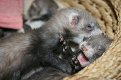 Playing ferret kits Stock Photography