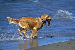 Playing Fetch. Dog playing fetch in the ocean royalty free stock photo