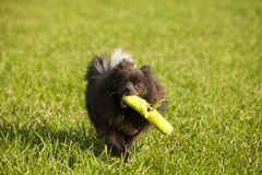 Playing Fetch Stock Photography