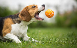 Playing fetch with agile dog. Playing fetch with agile Beagle dog royalty free stock photo