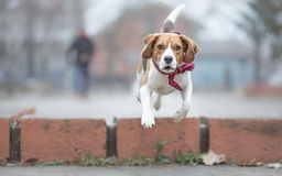 Playing fetch with  beagle Royalty Free Stock Image