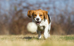 Playing fetch with Beagle. Dog stock photos