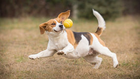 Playing fetch with beagle dog. Playing fetch with funny beagle dog royalty free stock images