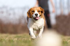 Playing fetch with Beagle stock images