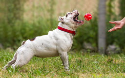 Playing fetch with English Bulldog royalty free stock image