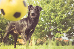 Playing fetch Royalty Free Stock Images