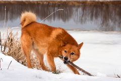 Playing finnish spitz Stock Images