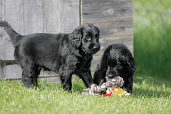 Playing flat coated retriever puppies Royalty Free Stock Image