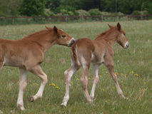 Playing Foals Royalty Free Stock Photo