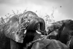 Playing with Food. A young elephant playing with his food Royalty Free Stock Images