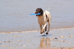 Playing frisbee at the beach. A wet dog having caught a disk at the beach Stock Image