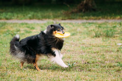 Playing Frisbee Freestyle Tricolor Scottish English Rough Long-Haired Collie. Playing Frisbee Freestyle With Plastic Yellow Disk The Tricolor Pirebred Rough Royalty Free Stock Photography
