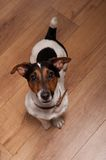 Playing funny dog. Nice, cute dog Jack Russell terrier with pleasure looks at the camera and smiling. Emotional animal. Selected focus on nose Royalty Free Stock Photography