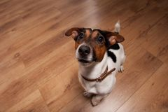 Playing funny dog. Nice, cute dog Jack Russell terrier with pleasure looks at the camera and smiling. Emotional animal. Selected focus on nose Stock Photo