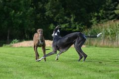 Playing Galgos Stock Photo