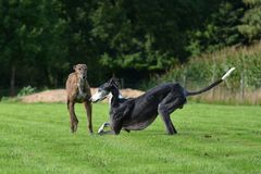 Playing Galgos Stock Photos