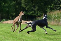 Playing Galgos Royalty Free Stock Photography