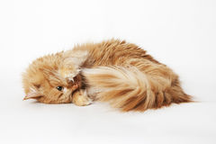 Playing ginger cat. On the white isolated background Stock Images