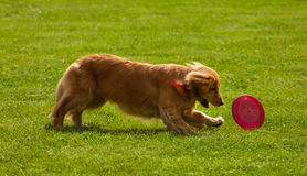 Playing Golden Retriever Catching Frisbee. On green grass royalty free stock photo