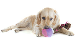 Playing golden retriever Stock Image