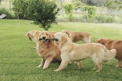 Playing golden retrievers. Group of golden retrievers playing royalty free stock photo
