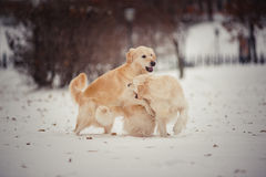 Playing golden retrievers in winter day Royalty Free Stock Photos