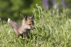 Playing the grass. Young kit red fox playing in a meadow in springtime Stock Image