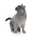 Playing gray cat Royalty Free Stock Photos