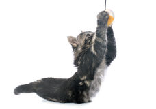 Playing gray kitten Royalty Free Stock Photos